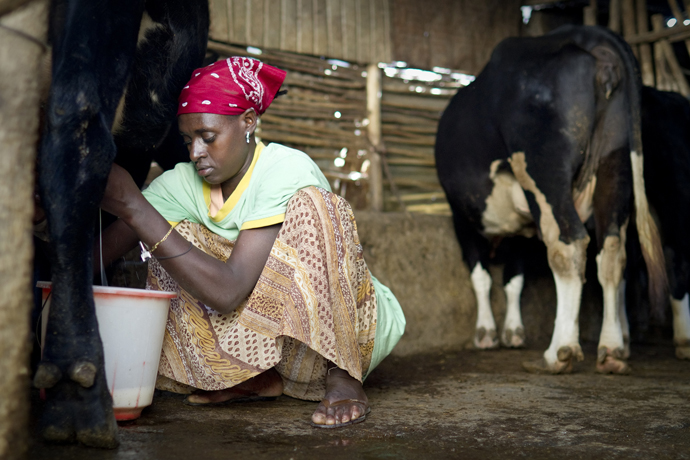 Yeshi, a professional milkmaid, milks cows for households throughout Bishoftu twice a day—early in the morning and again at night. / CNFA