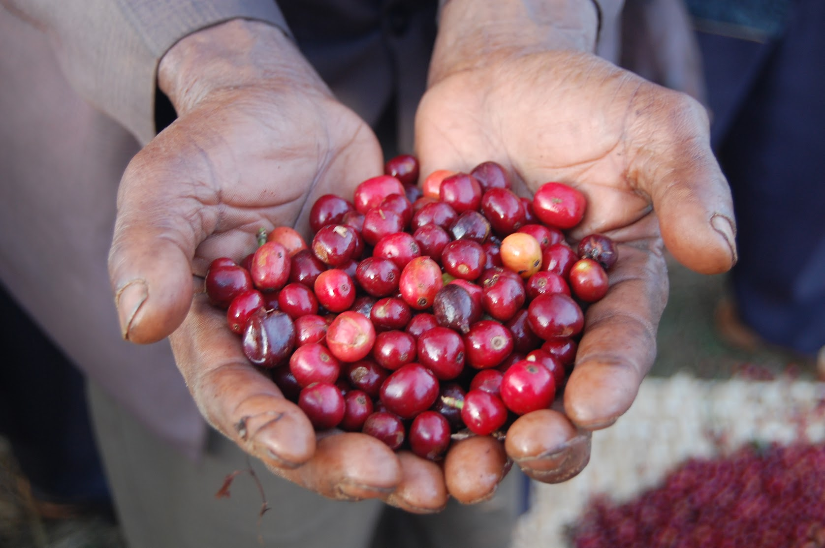 A worker at the Banko Gotiti Cooperative in the Southern Nations, Nationalities and People's Region of Ethiopia holds a handful of ripe red Yirgacheffe coffee berries. Credit: Marcelo Pereira / USAID Agribus Market Develop