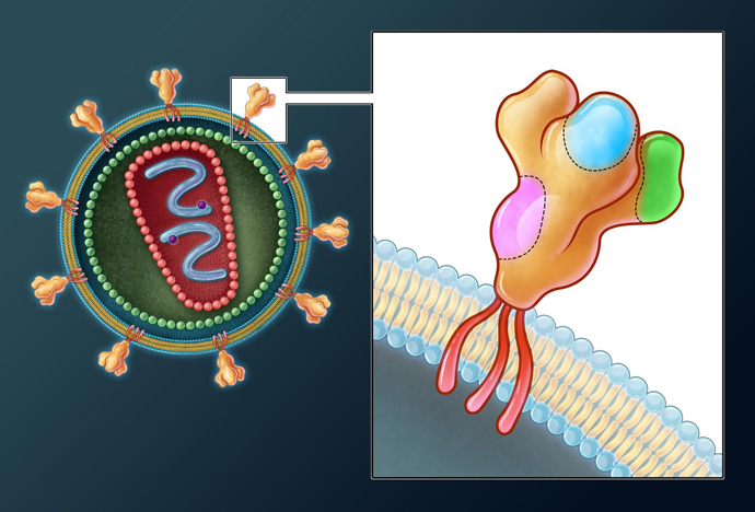 HIV's outer-envelope proteins penetrate and infect host T-Cells; this illustration shows areas where antibodies can bind to and block the virus / Evan Oto / Science Source